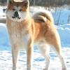 Великолепные щенки Акита-ину