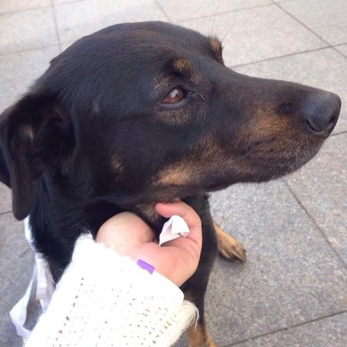 SOS!!! Найдена собака 23.07.2015!!!!! Кобель, черно-рыжий, метис.