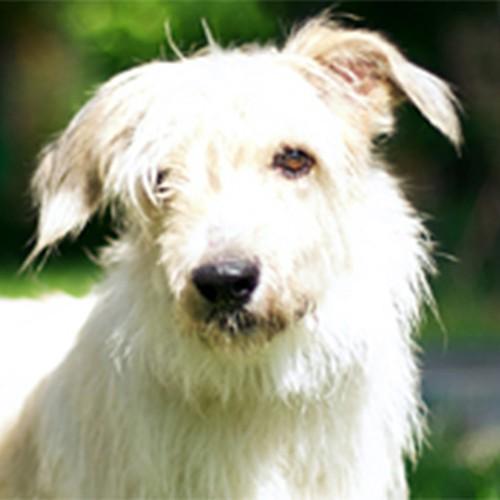 Отдам в дар собаку, метиса тибетского терьера
