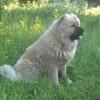 Кавказская овчарка, девочка 4,5 года