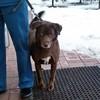 г. Королев Найден шоколадный пес с разными глазами (метис лабрадора)