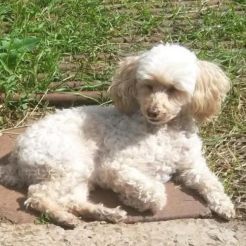 Пропала собака - карликовый пудель