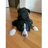 Пропала собака крупной породы