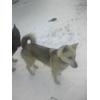 Пропала собака кобель зсл самец 1. 3 года вместе с овчаркой немецкой самец 2 г.Пермь