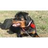 Пропала собака ротвейлер 2 года девочка