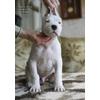 Продается щенок аргентинского дога - кобель шоу класс