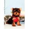 Йоркширского терьера щенков продаю, мини и стандарт, беби фейс, с шелковой шерсткой