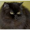 Отдам даром взрослого персидского кота