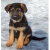 Продам щенков немецкой овчарки в Москве и Кашире