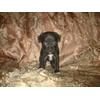 Чихуа хуа и цвергпинчера, метисов, черного окраса, возраст 2 месяца