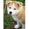 Продаем самых красивых щенков Акиту-Ину