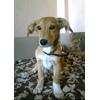 В Набережных Морквашах пропала собака, желтый метис, щенок 8 месяцев, кобель, кличка Филя.