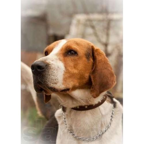 Карат, роскошный, крупный пес в дар