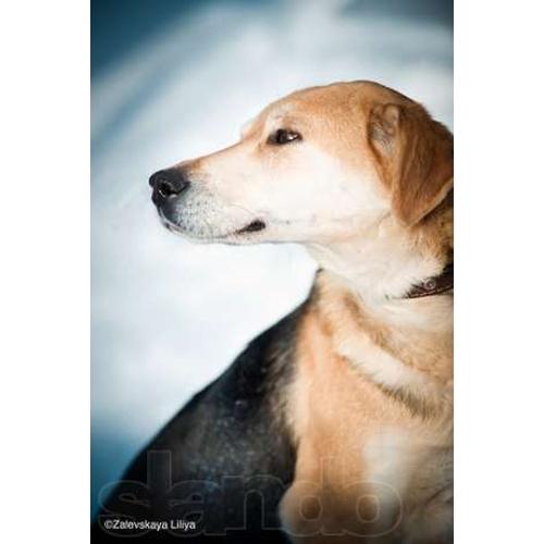 Лана, нежная, красивая собака в дар