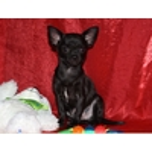 Мальчик мини чихуахуа черного окраса