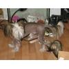 6 июня вечером пропала китайская хохлатая собака, кобель