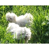 Мальтезе (мальтийская болонка) щенки мини и стандарт.