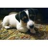 Срочно! Милые щенки джек-рассел 2 месяца.