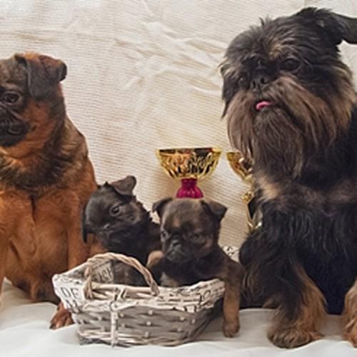 Веселые щенки гриффона и пти-брабансона ждут Вас!
