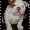 Продается щенок английского бульдога