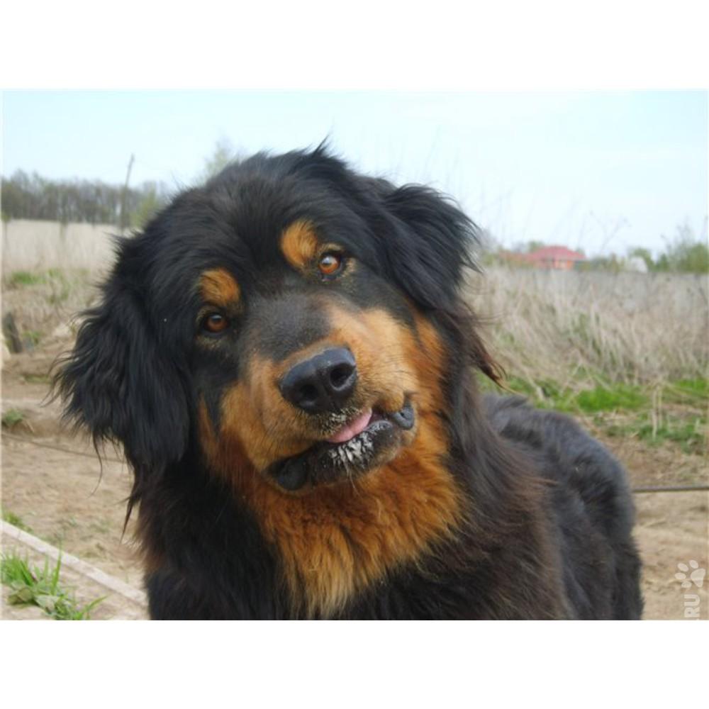Бурят монгольская собака