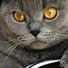 Шартрез (Картезианская кошка)