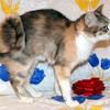 Американский рингтейл (кольцехвотсая кошка)