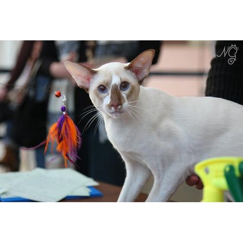 Сейшельская кошка. Описание породы Белая Американская Короткошерстная Кошка
