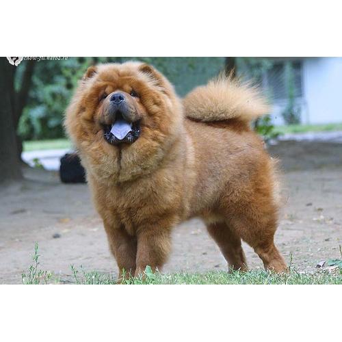 порода собак чау