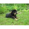 Бурят-монгольская собака
