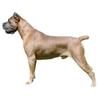 Кане корсо (корсиканская собака)