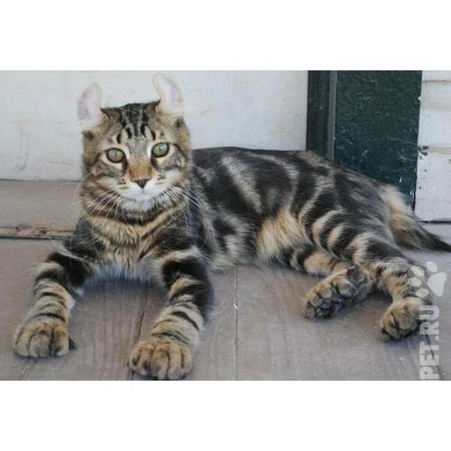 Хайлендер фото кота