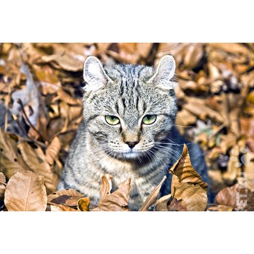 Бенгальская кошка описание фото стандарт характер