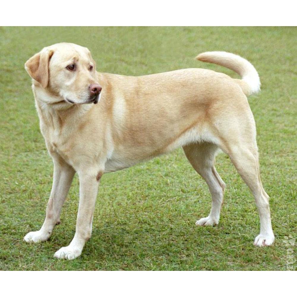 Лабрадорретривер описание породы собак характер окрасы
