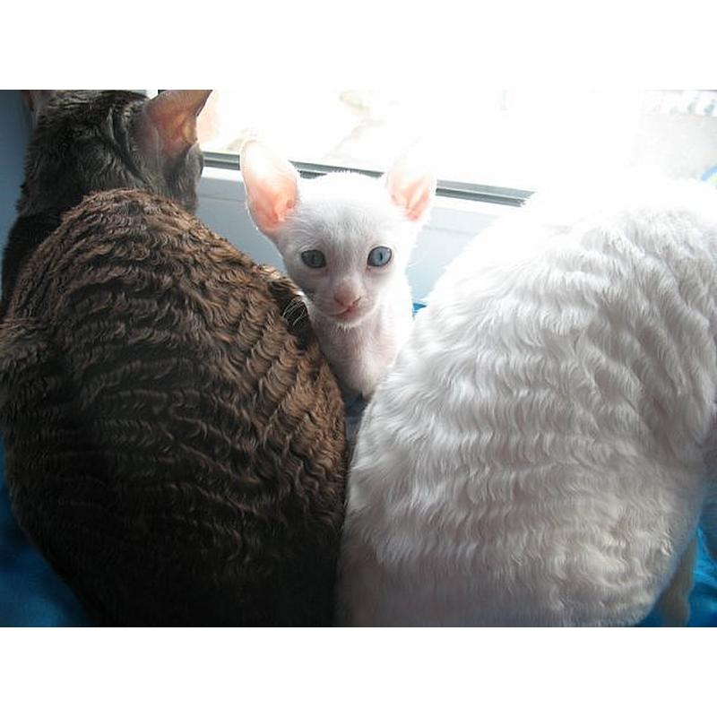 Девон Рекс - все о породе от А до Я. ТОП-100 фото красивой кошки, отзывы,  характер, содержание, интересные факты | 800x800