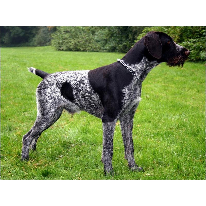 Собаки » Породы » Дратхаар (немецкая жесткошерстная легавая)