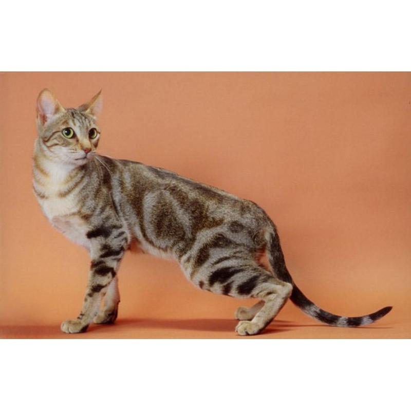Кошки » Породы » Соукок (сококе или кенийская лесная)
