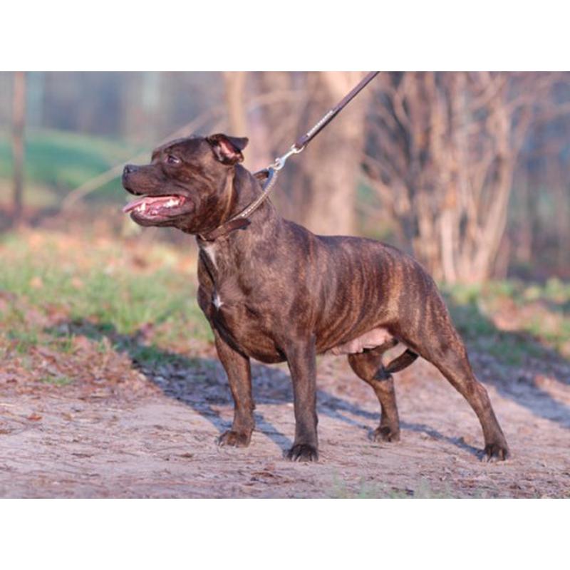 Собаки » Породы » Стаффордширский бультерьер