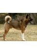 Американская акита (большая японская собака)