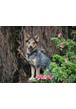 Австралийская пастушья собака (Австралийский хилер)