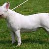 Собаки - Породы - Перуанская голая собака
