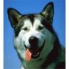 Какой должна быть ездовая собака?