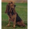 Если взять собаку щенка, достоинства и недостатки такого выбора?
