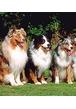 Какие бывают виды окрасов у собак?