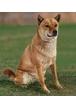 Какие бывают пастушьи собаки?