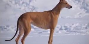 Австралийская борзая (кенгуровая собачка)