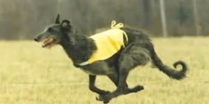дирхаунд (шотландская оленья борзая)