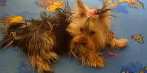 Собаки - Породы - Йоркширский терьер