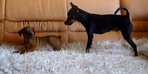 Пражский крысарик