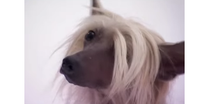 Китайская хохлатая собака